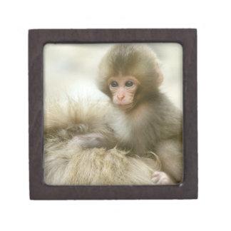 Asia, Japan, Nagano, Jigokudani, Snow Monkey 3 Jewelry Box