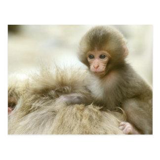 Asia, Japan, Nagano, Jigokudani, Snow Monkey 3 Postcard