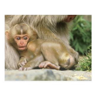Asia, Japan, Nagano, Jigokudani, Snow Monkey 4 Postcard