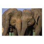Asia, la India, parque nacional de Nargahole. Indi Cojinete