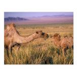 Asia, Mongolia, Gobi Desert, Great Gobi Postcard