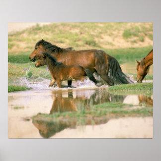 Asia, Mongolia, Gobi Desert. Wild horses. Poster