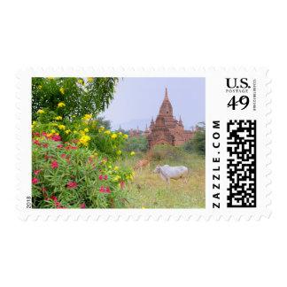 Asia, Myanmar (Birmania), Bagan (Pagan). Vacas Envio
