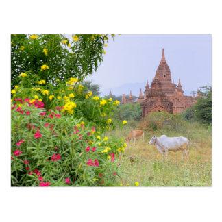 Asia, Myanmar (Birmania), Bagan (Pagan). Vacas Tarjeta Postal