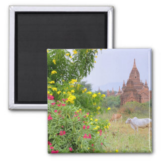 Asia, Myanmar (Burma), Bagan (Pagan). Cows Magnet