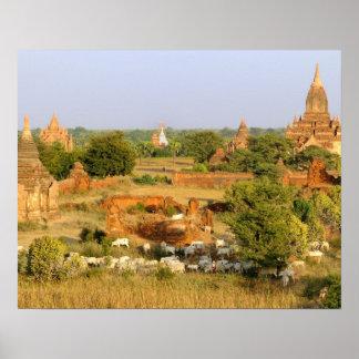 Asia, Myanmar (Burma), Bagan (Pagan). Cows pass Poster