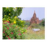 Asia, Myanmar (Burma), Bagan (Pagan). Cows Post Card