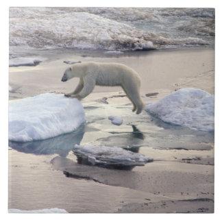 Asia, Rusia, ártico siberiano. Oso polar Azulejo Cuadrado Grande