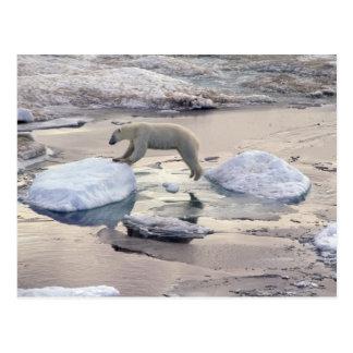 Asia, Russia, Siberian Arctic. Polar bear Postcard