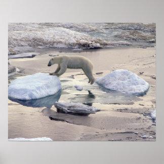Asia, Russia, Siberian Arctic. Polar bear Poster