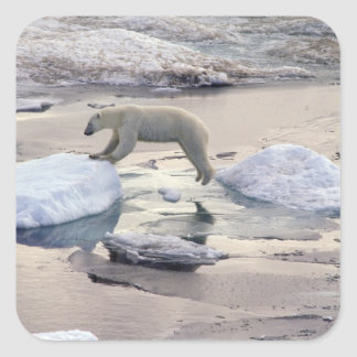 Asia, Russia, Siberian Arctic. Polar bear Square Sticker