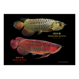 Asian Arowana of gold and red Poster