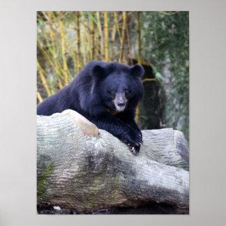Asian Black Bear Poster
