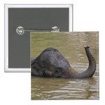 Asian Elephant bathing, Thai Elephant Pinback Button