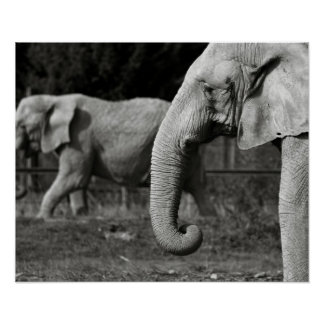 Asian Elephant Poster Print