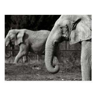 Asian Elephants Postcard