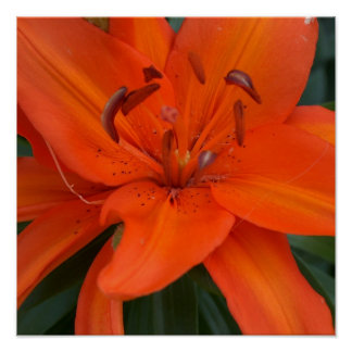 Asian Lily Poster
