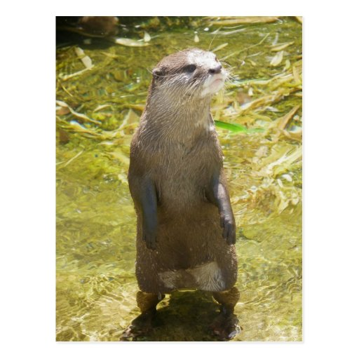 Asian Small-clawed Otter Post Card