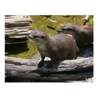 Asian Small-clawed Otters Postcards