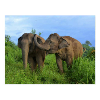 Asiatic elephants postcard