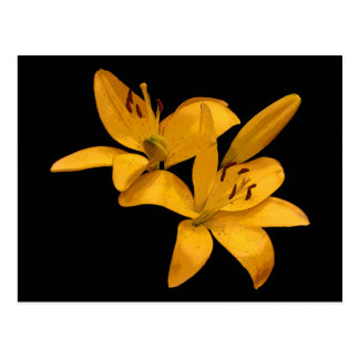 Asiatic Lilies Postcard