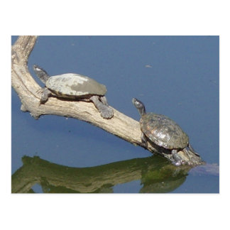 Asolear la tortuga Ozarks del agua Postal