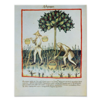Asparagus Pickers, 13th century Poster