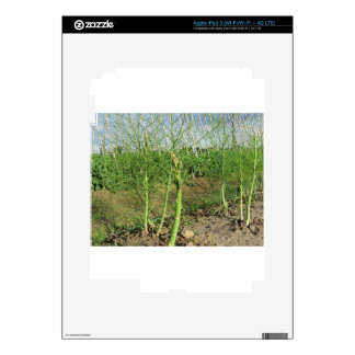 Asparagus shoot just before becoming woody iPad 3 decals