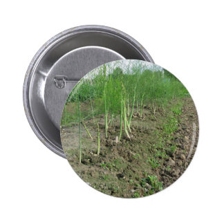 Asparagus shoot just before becoming woody pinback button