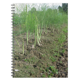 Asparagus shoot just before becoming woody spiral notebook