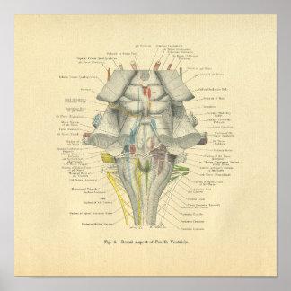 Aspecto anatómico del dorsal del cerebro de Frohse Póster
