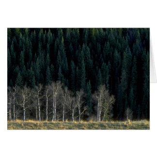 Aspen and spruce forest in the Sheep River Valley, Greeting Card