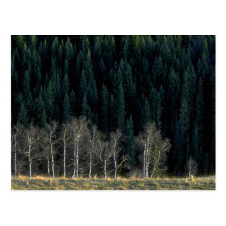 Aspen and spruce forest in the Sheep River Valley, Postcard