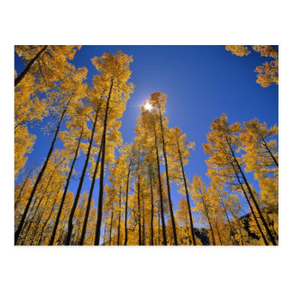Aspen grove in autumn in the San Juan Range of Postcard