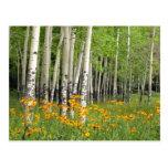 Aspen Grove in New Mexico Postcard