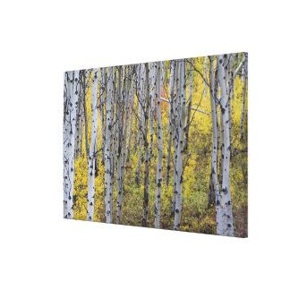 Aspen grove in peak fall color in Glacier Canvas Print