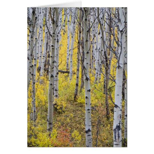 Aspen grove in peak fall color in Glacier Card