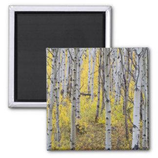 Aspen grove in peak fall color in Glacier Magnet
