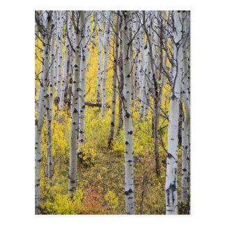 Aspen grove in peak fall color in Glacier Postcard