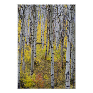 Aspen grove in peak fall color in Glacier Poster