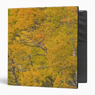 Aspen grove in peak fall colors near East Binder