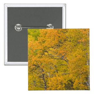 Aspen grove in peak fall colors near East 2 Inch Square Button