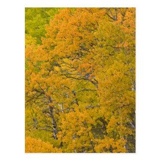 Aspen grove in peak fall colors near East Postcard