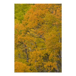 Aspen grove in peak fall colors near East Poster