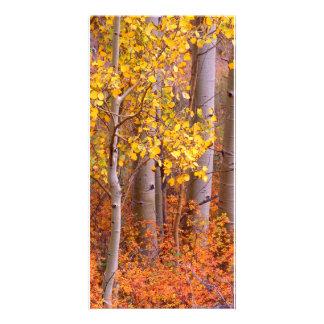 Aspen in Fall Picture Card