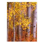 Aspen in Fall Post Card