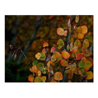 ASPEN TREE BRANCHES WITH FALL COLORED LEAVES POSTCARD