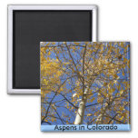 Aspen tree looking up through yellow leaves. magnets