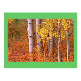Aspen trees in Autumn Postcard