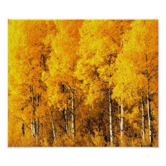 Aspen Trees in Colorado Poster